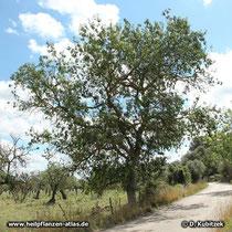 Schmalblättrige Esche (Fraxinus angustifolia) auf Mallorca