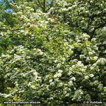 Zweigriffeliger Weißdorn (Crataegus laevigata) in Blüte.