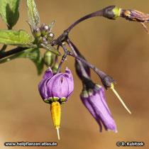 Bittersuesser Nachtschatten (Solanum dulcamara)