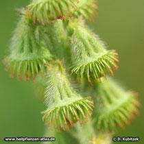Kleiner Odermennig (Agrimonia eupatoria), Früchte