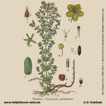 Echtes Johanniskraut, Hypericum perforatum, Historisches Bild
