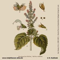 Muskatellersalbei, Salvia sclarea, Historisches Bild