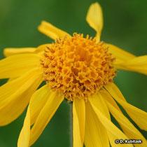 Bütenkopf der Arnika (Blütenkorb)