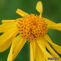 Bütenkopf (Blütenkorb) der Arnika (Arnica montana)