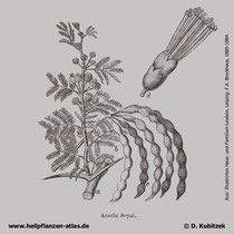 Seyal-Gummi-Akazie (Acacia seyal), Historisches Bild
