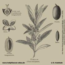 Ölbaum; Olea europaea; Historisches Bild