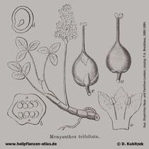 Fieberklee, Menyanthes trifoliata, Historisches Bild