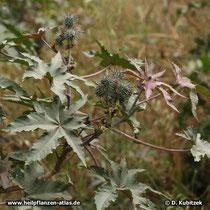 Rizinus (Ricinus communis): Zweig mit Samenkapseln