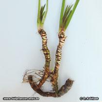 Kalmuswurzel (Acorus calamus),