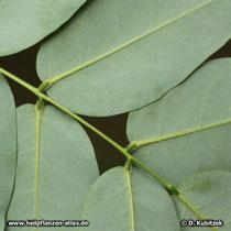 Japanischer Pagodenbaum: Die Blattunterseite ist grünlich und leicht behaart.