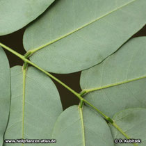 Japanischer Pagodenbaum (Japanischer Schnurbaum, Styphnolobium japonicum, Sophora japonica): Die Blattunterseite ist grünlich und leicht behaart.