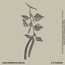 Gewöhnliche Birke; Betula pendula; Historisches Bild