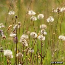 Arnika-Wiese im Spätsommer (Arnica montana)