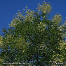 Der Japanische Pagodenbaum (Japanischer Schnurbaum, Styphnolobium japonicum, Sophora japonica) ist in Parks und an Straßen zu finden. Er blüht ungewöhnlich spät im Sommer (August, September).