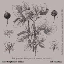 Purgier-Kreuzdorn (Rhamnus catharticus), Historisches Bild