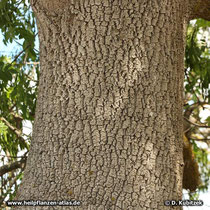 Stamm einer älteren Schmalblättrigen Esche (Fraxinus angustifolia)