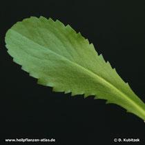 Kalifornisches Gummikraut, Grindelia robusta, Blatt