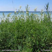 Echtes Mädesüß (Filipendula ulmaria), Standort im Schilfgürtel am Seeufer (Ammersee, Bayern)