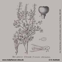 Gewöhnlicher Erdrauch, Fumaria officinalis, Historisches Bild