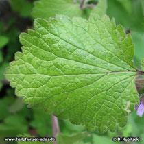 Schwarznessel (Ballota nigra), Blatt
