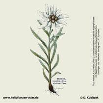 Alpen-Edelweiss (Leontopodium nivale ssp. alpinum). Historisches Bild.