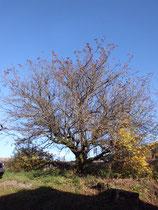 Foto Baum vorher