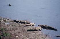 Spitzkrokodile (Crocodylus acutus) im Rio Tarcoles auf dem Weg zur Carara Biological Reserve. Die Tiere können bis zu 7 m lang werden (Männchen grösser als Weibchen). Die Art kommt in Mittelamerika und im Norden Südamerikas vor.