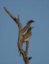 """Der ca. 50 cm lange Keilschwanztoko, """"Indian Grey Hornbill"""" (Ocyceros birostris) bewohnt offenen Wald mit Früchte-tragenden Bäumen in grossen Teilen Indiens vom Fuss des Himalayas südwärts."""