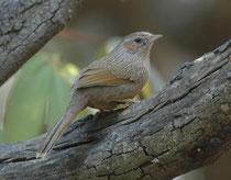 Der Borstenhäherling (Garrulax lineatus) lebt in Nordindien. Er ist kein guter Flieger, sondern hüpft in den unteren Regionen der Bäume von Ast zu Ast oder am Boden, wo er Insekten, Beeren und Früchte sucht. Oft in der Gruppe, die durch Rufe Kontakt hält.