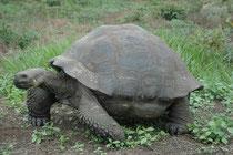 Von der Galápagos-Riesenschildkröte (Chelonoidis nigra) gibt es heute noch 10 Unterarten. Auf Santa Cruz, wo sich auch dier Charles Darwin Reseach Station befindet, lebt die Santa-Cruz-Riesenschildkröte (Chelonoisis n. porteri) mit kuppelförmigem Panzer.