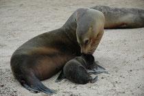 Ein Galapagos-Seelöwen Weibchen  mit Jungem. Mit 150 bis 170 cm Körperlänge und einem Gewicht von 60 bis 100 kg sind Weibchen  deutlich kleiner und leichter als Männchen (250 bis 270 cm und Gewicht von rund 250 kg).