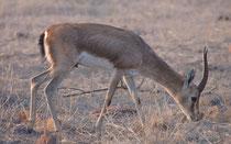 """Die Indische Gazelle od. """"Chinkara"""" (Gazella bennettii) erreicht eine Kopfrumpflänge von rund einem Meter. Ihr Lebensraum sind trockene, offene Regionen wie Grasländer und Wüstengebiete Wie viele Gazellenarten können sie lange Zeit ohne Wasser auskommen."""