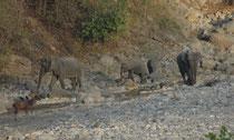 Elefanten suchen mindestens einmal täglich eine Wasserstelle auf, wo wir denn auch diese kleine Elefantenherde sahen. Sie setzt sich zusammen aus miteinander verwandten Müttern, Töchtern und Schwestern. Man beachte ihre relative Grösse zum Sambarhirsch !