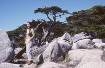 Die Monterey-Zypresse (Cupressus macrocarpa) kommt endemisch in der zentralen Küstenregion von Kalifornien vor. Natürliche Vorkommen gibt es nur in zwei kleinen Populationen bei Monterey und Carmel-by-the-Sea. (vgl. Galerie USA II).