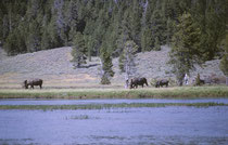Es soll Leute geben, die mehrere Tage im Yellowstone NP verbracht haben, ohne je einen Elch  (Alces alces) gesehen zu haben. Da hatten wir mehr Glück, als wir diese vier kapitalen Elche bei der Nahrungsaufnahme am Flussufer beobachten konnten (Bild 1966).