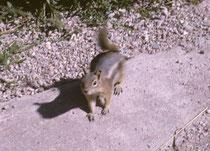 """Die Lage auf 3150 m Höhe bedeutet für alle Tier- und Pflanzenarten, einem langen Winter widerstehen zu müssen. Das gilt auch für die im Park häufigen und zutraulichen Goldmantel-Ziesel (Callospermophilus lateralis, """"Golden-mantled ground squirrel"""")."""