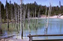 Faszinierend im Yellowstone NP sind die Dynamik und die fortlaufenden Veränderungen: Hier stand vor noch nicht langer Zeit ein Wald. Dann begann es zu blubbern, warmes oder heisses Wasser trat an die Oberfläche, ein See entstand und die Bäume starben ab.
