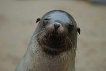 Hier sieht man sehr gut, warum der Galapagos Seelöwe zur Familie der Ohrenrobben (Otariidae) gehört. (Punta Cormorant, Floreana).