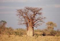 """Der Affenbrotbaum oder """"Baobab"""" (Adansonia digitata) gehört zu den charakteristischsten Bäumen des tropischen Afrikas. Im unbelaubten Zustand erinnert die Astkrone an ein Wurzelsystem (gemäss Legende hat der Teufel den Baum verkehrt herum gepflanzt)."""
