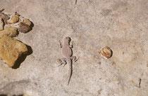 Im Park gibt es auch 15 Reptilienarten (6 Schlangen, 9 Echsen). Diese Echse entdeckten wir an einem Felshang. Es könnte sich um den Leoopardleguan (Gambelia wislizenii) handeln. oder um den Wüstenstachelleguan (Sceloporus magister).
