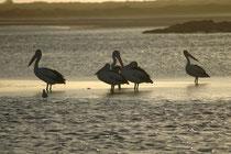 Australische Pelikane (Brillenpelikane) (Pelecanus conspicillatus) in der Nelson Bay, bzw. im Tomaree NP.