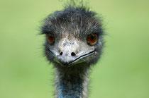 Der flugunfähige Emu (Dromaius novaehollandiae) ist der grösste Vogel Australiens und neben dem afrikanischen Strauss, mit dem er nicht näher verwandt ist, der grösste Vertreter der Laufvögel. Er wird heute auf Farmen gezüchtet. (S. Althaus, Cleland Park)