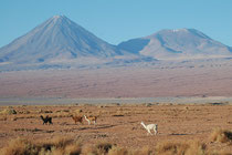 Hier noch einmal der wunderbar regelmässig geformte Vulkan Chiliques. Im Vordergrund Lamas mit unterschiedlichen Fellfarben (typisch für Haustiere).