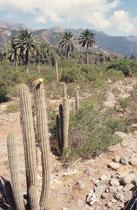 Im 1997 gegründeten  La Campana NP gab es neben der Honigpalme natürlich auch noch eine Vielzahl anderer Pflanzen, insbesondere diverse Kakteen. Er ist heute ein Biosphärenreservat der UNESCO.