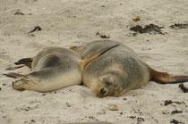 Australische Seelöwen gelten als sesshaft und unternehmen daher keine jahreszeitlich bedingten Wanderungen d. h., sie bleiben meistens auch ausserhalb der Fortpflanzungszeit in der Nähe ihrer Kolonienstandorte (Foto S. Althaus).