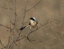 Der auffallend langschwänzige Schachwürger (Lanius schach erythronotus) ist ein Standvogel, der von einer erhöhten Warte (Baum oder Busch) aus v.a. Insekten und anderen Wirbellose jagt. Anlegen von Vorräten durch Aufspiessen der Beute kommt vor.
