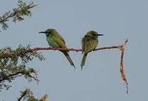 Zwei Smaragdspinte (Merops orientalis cyanophrys) im Wadi Dana, in Richtung Fenyan. Von einer niedrigen Sitzwarte aus jagen diese Vögel  Insekten, vorwiegend Bienen, Wespen und Ameisen im Flug.