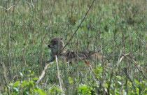 Zwei Mal haben wir am Eingang zum Corbett NP einen (ev. denselben) Goldschakal (Canis aureus) – eigentlich eine gesellige Art - gesehen. Auch wenn er liegt, ist er eindeutig zu identifizieren, denn es ist die einzige Schakalart, die in Indien vorkommt.