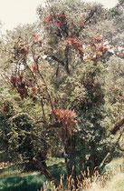 Auf diesem Baum in der alpinen Landschaft bei der Anfahrt zum Vulkan Irazu, wachsen zahlreiche Bromelien.
