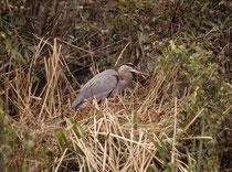 """Der Kanadareiher (Ardea herodias, """"Great Blue Heron""""), ist mit einer Höhe von 102 bis 127 cm und einer Flügelspannweite von ca. 2 m der grösste Reiher Nordamerikas und damit wesentlich grösser als der ihm äusserlich ähnlich sehende europäische Graureiher."""